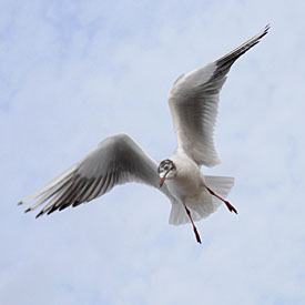 13,562-Seagull in flight.jpg