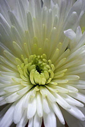 4255-Chrysanth.jpg